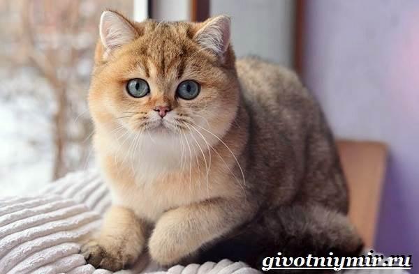 Кот золотая шиншилла пидрила