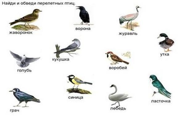 Перелетные птицы: названия для детей, описание, список. Фото 86