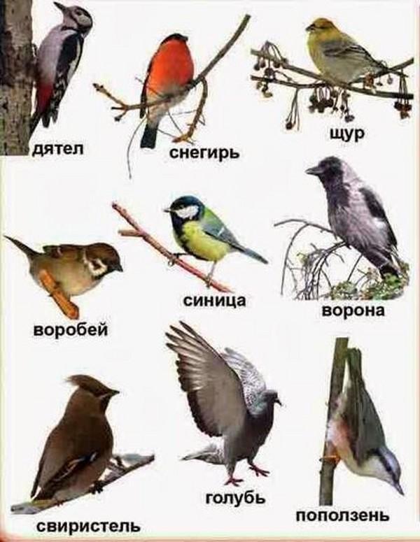 Перелетные птицы: названия для детей, описание, список. Фото 57