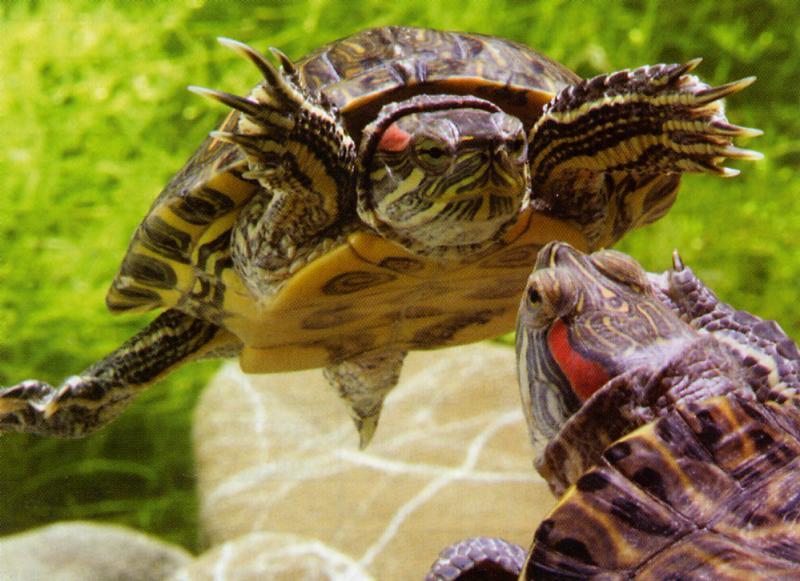 Когти у красноухих черепах