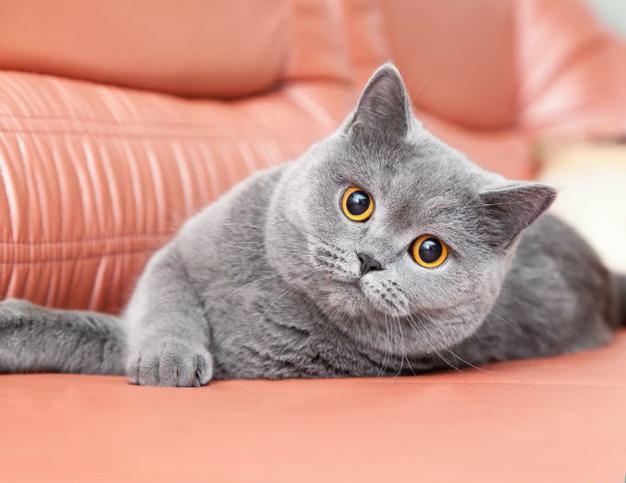 Moja britská krátkosrstá mačka sa volá Victoria a ja ju zbožňujem. Dokonca  aj s ňou spoločne spíme. Je to šialene čistá mačka bez problémov vkladať do  ... 232a3755e72