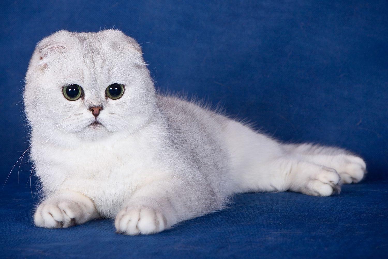 Zwiń Koty Charakterystyczne Dla Rasy Hodowla Szkockich Kotów