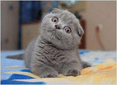 Čistá mačka lopatka. Starostlivosť o vlnu Britov bude potrebná ... 1257d418f5c