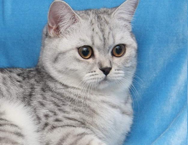 Jasným predstaviteľom domácich miláčikov je britská mačka krátkosrstá.  Plemeno je veľmi