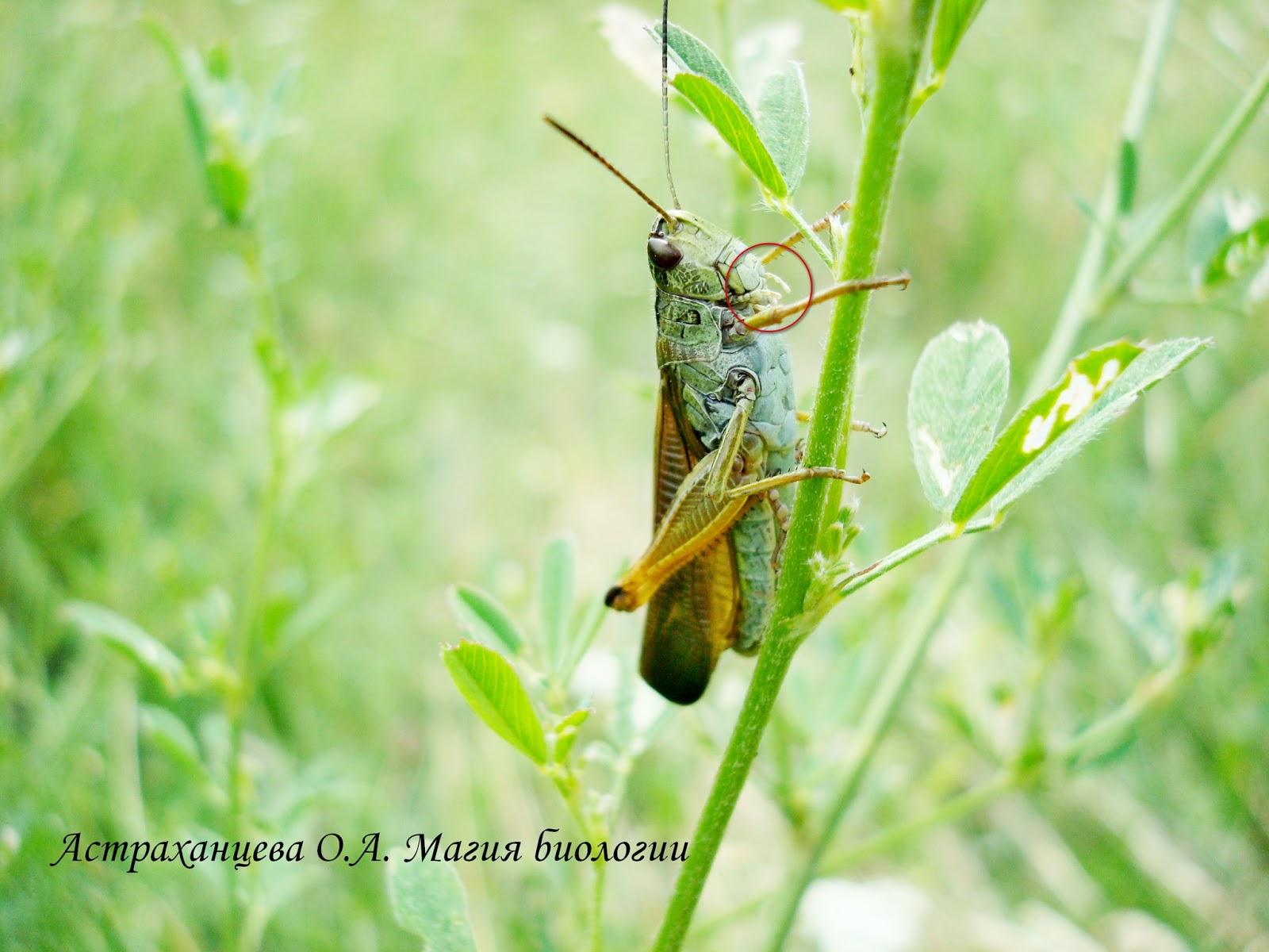 Для полужесткокрылых насекомых характерен ротовой аппарат