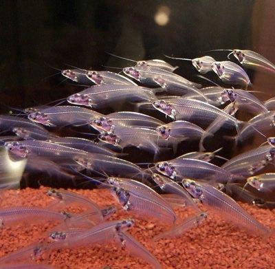 Gran bagre en el acuario. Las características completas de peces ...