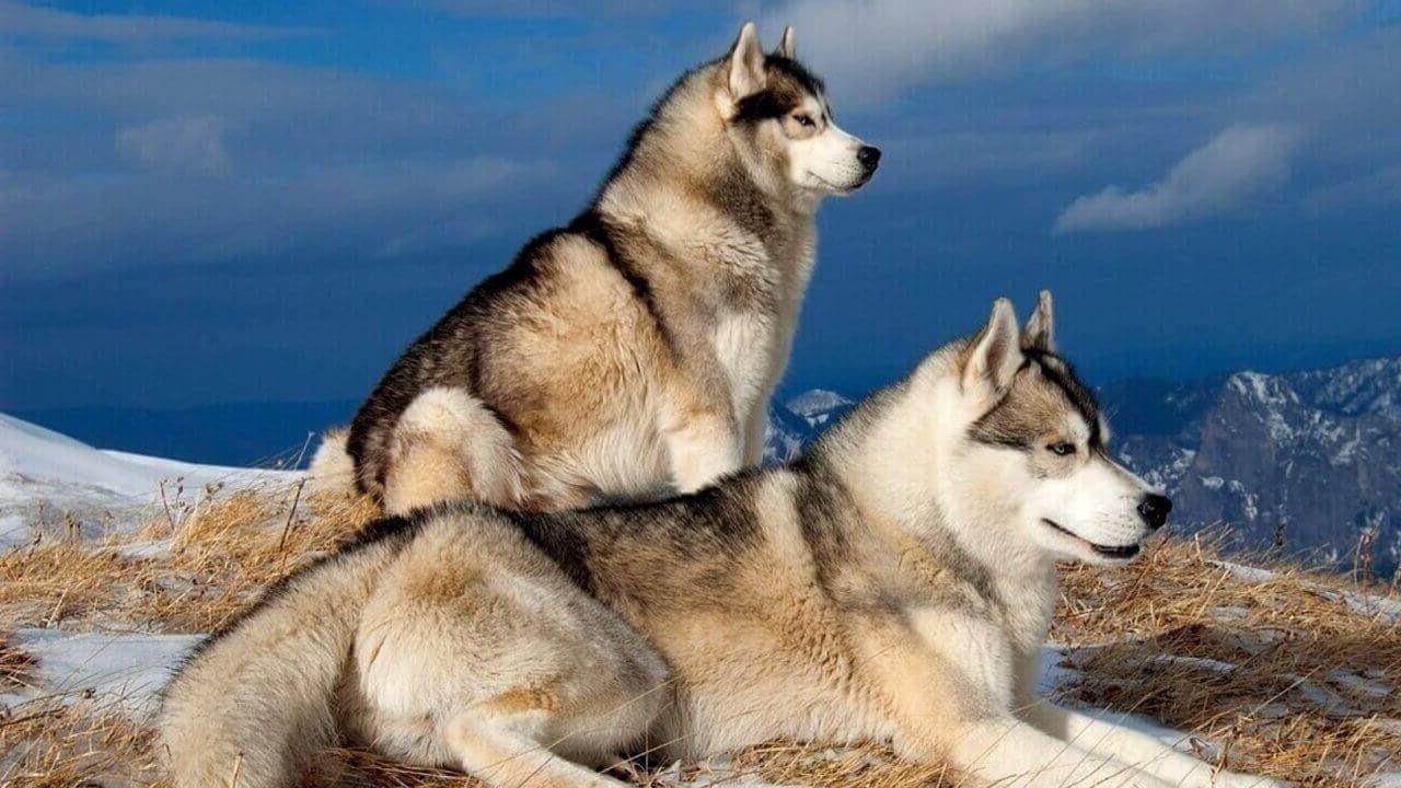 Táto viera je však charakteristická len pre neskúsených majiteľov zvierat.  Zložitosť tréningu nie je spojená s lenivosťou alebo hlúposťou psov c95069d0401