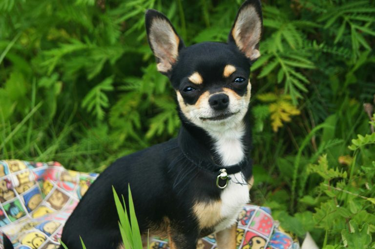 Rasy Psów średnich I Małych Jakiego Psa Lepiej Mieć W Mieszkaniu