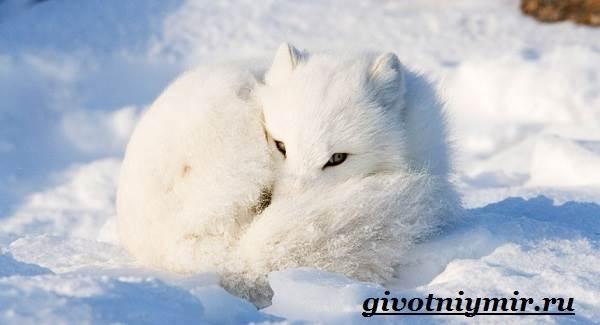 Mensaje sobre el tema zorro ártico de la tundra. Zorro del ártico o ...