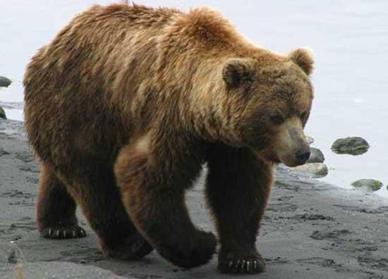 Берег как белый медведь лижет таёжную лапу