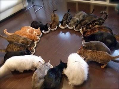 Je možné kŕmiť domáce jedlo  Čo kŕmiť mačku. Dôležitým bodom a94c6e6f2f1
