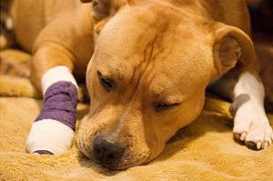 Травматин для собак: применение при травмах и воспалениях