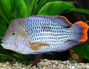 Содержание и размножение аквариумной рыбы акара бирюзовая