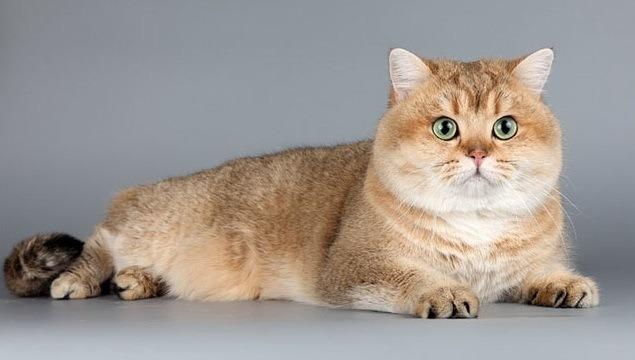 Cena britskej krátkosrsté mačky. Kde kúpiť mačku britského plemene  krátkosrstých plemien. Kennels of British Shorthair 86f3991d651