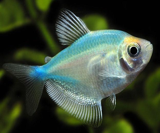 Рыба тернеция описание размножение уход